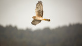 Wild Hawk Flying Over Forest, Color Image
