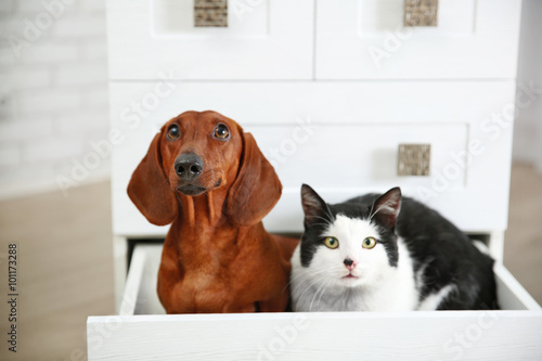 Beautiful cat and dachshund dog sitting in chest of drawers