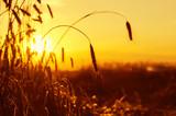 Ripe rye ears in the setting sun