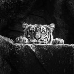 Tiger © subinpumsom