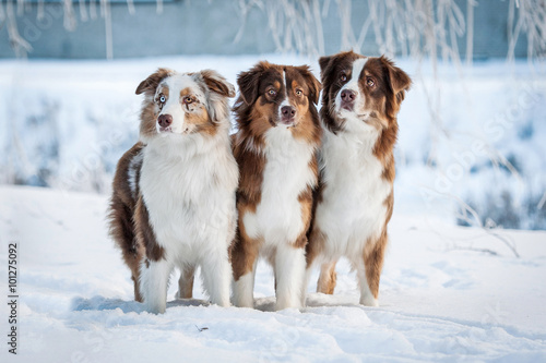 Group of three australian shepherd dogs in winter
