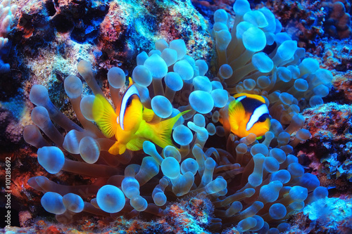 anemone fish, clown fish, underwater photo
