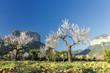 Obrazy na płótnie, fototapety, zdjęcia, fotoobrazy drukowane : blossoming almond tree