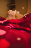 Orange kitten with closed eyes