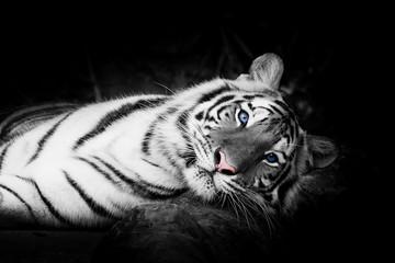 white tiger © subinpumsom
