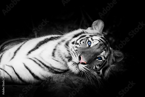 Tuinposter Panter white tiger