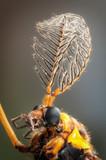 Testa di zanzarone degli orti