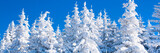 Vibrant winter vacation background panorama with pine trees covered by heavy snow