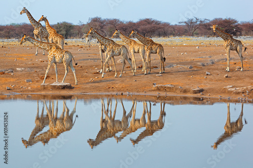 Giraffe herd (Giraffa camelopardalis) at a waterhole, Etosha National Park, Namibia