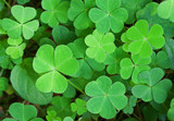 Green background with three-leaved shamrocks. St.Patrick