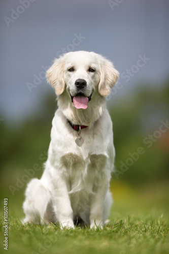 Juliste Happy and smiling Golden Retriever dog