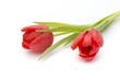 Obrazy na płótnie, fototapety, zdjęcia, fotoobrazy drukowane : Tulips on the white background.