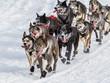 Iditarod sled dogs