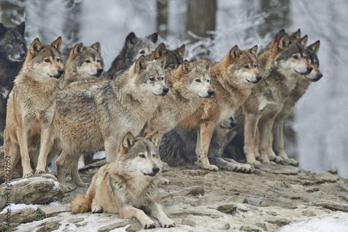 Poster Wolfsrudel im Winter