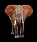 Big elephant on black background
