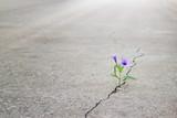 Fototapety purple flowers growing on crack street, soft focus, blank text