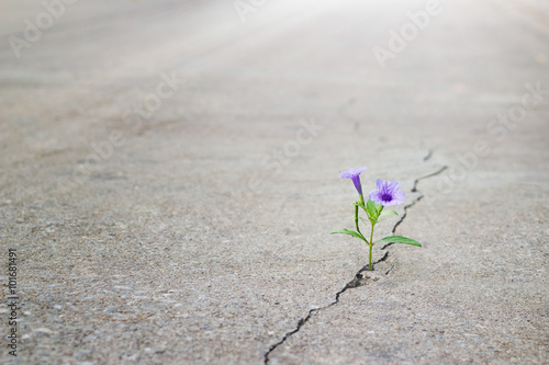 Poster purple flowers growing on crack street, soft focus, blank text