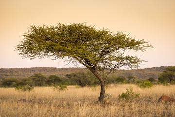 Acacia Tree Africa