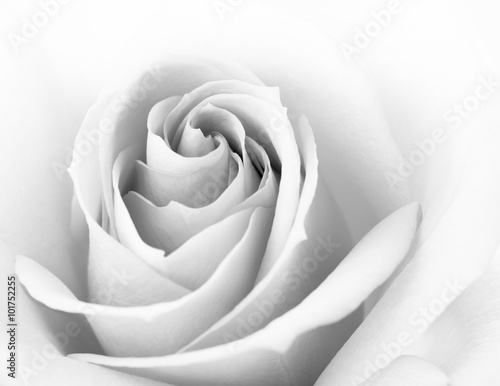 Fototapety, obrazy : Black and White Close up Image of Beautiful Pink Rose. Flower Background