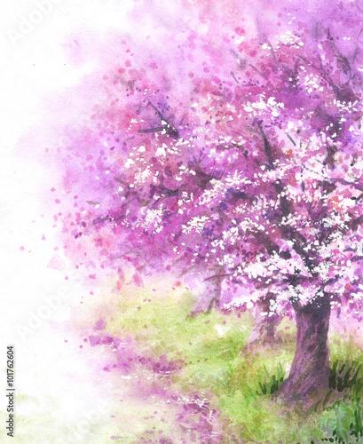 Flowering Sakura tree. - 101762604
