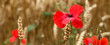 Poppy panorama, for remembrance day.