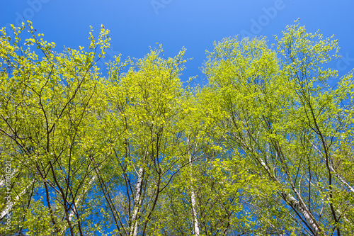Birch trees against clear blue sky at spring