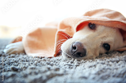 Wet Labrador dog in towel lying on gray carpet, closeup