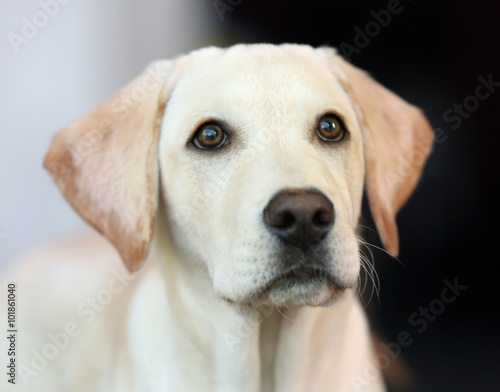 Labrador dog's head on unfocused background, closeup