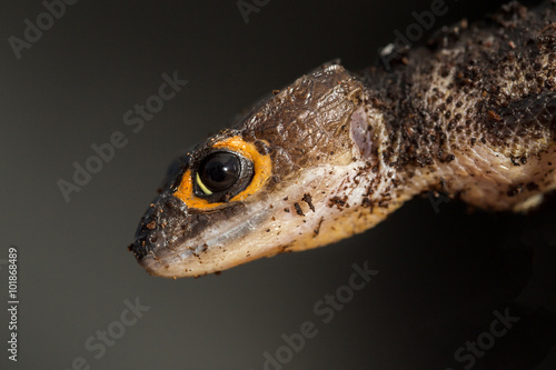 Foto op Plexiglas Krokodil Detail of a red eyed crocodile skink