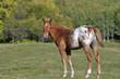 Obrazy na płótnie, fototapety, zdjęcia, fotoobrazy drukowane : Appaloosa Foal with halter in summer meadow