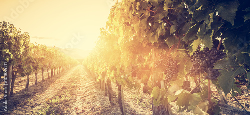Vineyard in Tuscany, Italy. Wine farm at sunset. Vintage