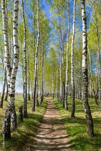 Plexiglas Berkenbos Birch-tree alley at spring forest