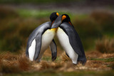 Fototapety King penguin couple cuddling in wild nature with green background