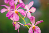 Fototapety orchid, pink orchid flower  in green background