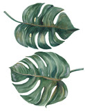 Set of tropical Split Leaves Philodendron plant botanic watercolor painting on white background