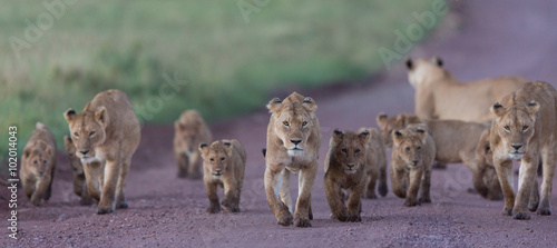 Deurstickers Lavendel Pride of African Lions in the Ngorongoro Crater in Tanzania