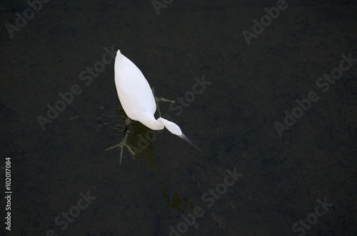 Poster Little egret in a shallow body of water