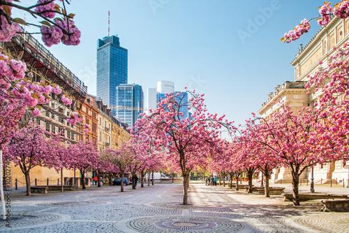 Kirschbaumblüte in Frankfurt, Deutschland Poster