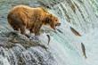 Grizzly Bear Catching Salmon Katmai National Park Alaska