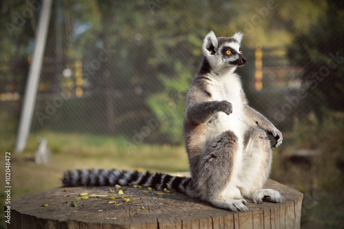 Poster Lemur in nature