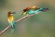 Obrazy na płótnie, fototapety, zdjęcia, fotoobrazy drukowane : Angry Bee-eaters