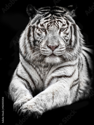 White tiger lying down facing the camera on a black background
