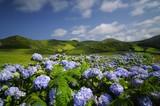 Fototapety Flores, hydrangea wild field, azores, portugal