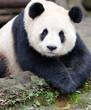 Giant Panda posing for the camera, Chengdu, Szechuan, China