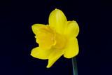 Daffodil - 102148848