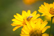 Obrazy na płótnie, fototapety, zdjęcia, fotoobrazy drukowane : Bee flying from flower to flower and pollinate