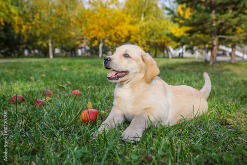 Poster Puppy with an apple