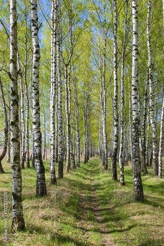 Obraz Birch-tree alley at spring forest