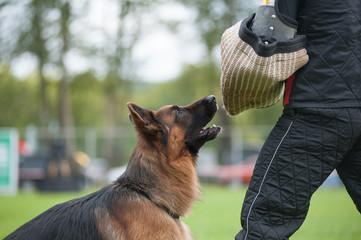 Working german shepherd dog