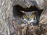 Female Great Horned Owl in Nest